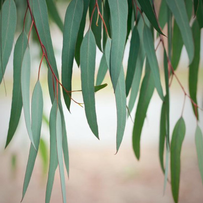 Canna Superior Eucalyptus