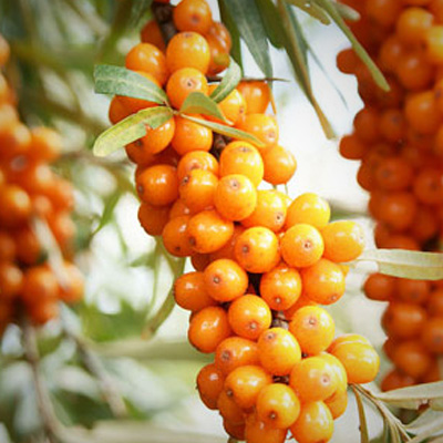 Canna Superior Sea Buckthorn